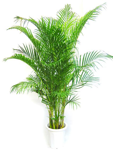 Хризалидокарпус (Chrysalidocarpus)