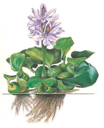 Эйхорния (Eichornia)