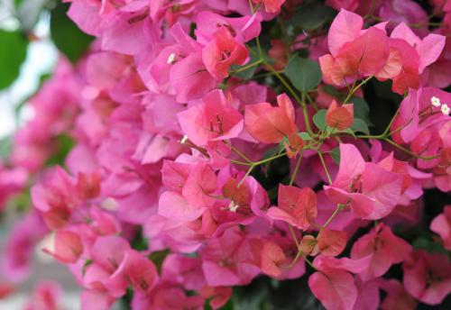 Главное украшение этого растения не мелкие жёлтые цветы, а ярко окрашенные прицветники.