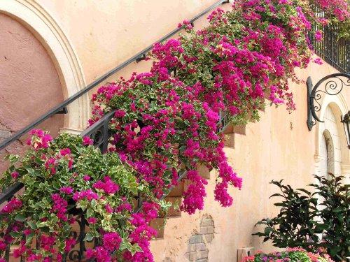 В тёплых районах, где температура зимой не опускается ниже 10 градусов бугенвиллию выращивают как уличное растение.
