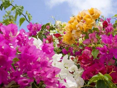 Прицветники бугенвиллий могут быть разных цветов.