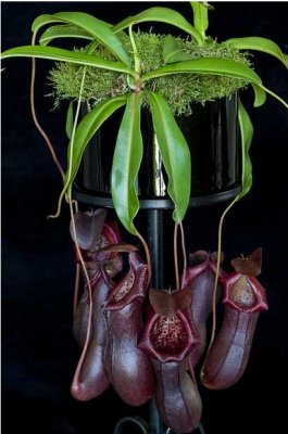 Непентес (Nepenthes)