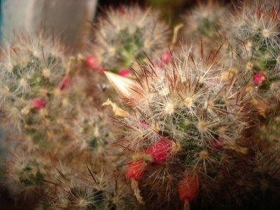 Маммилярия (Mammillaria)