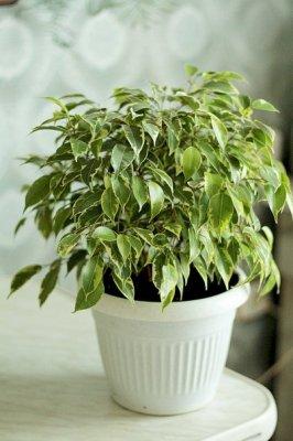 Фикус (Ficus)