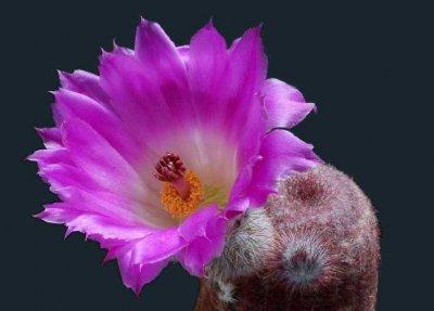 Эхиноцереус гребенчатый (Echinocereus pectinatus)