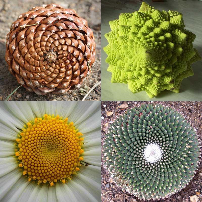 Примеры филлотаксиса у растений