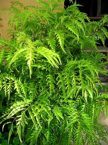 Полисциас пaпopoтниколистный (Polyscias filicifolia)