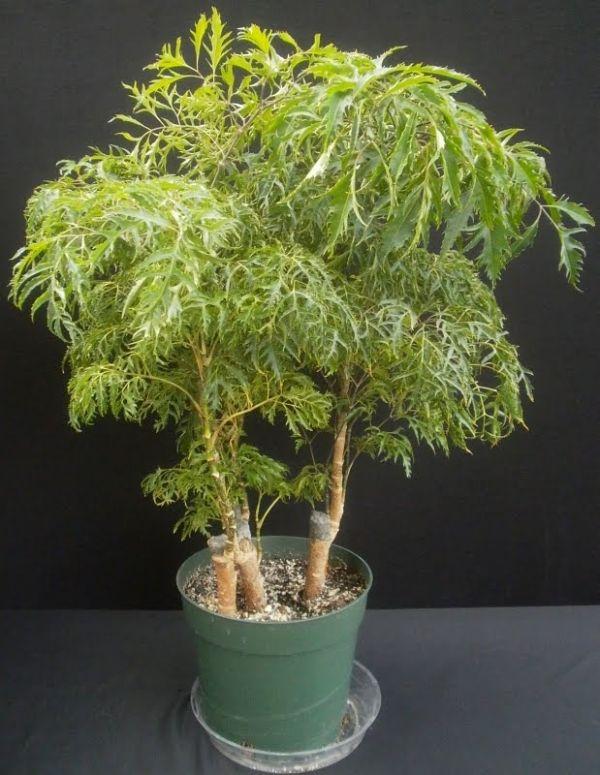 Полисциас кустарниковый Polyscias fruticosa
