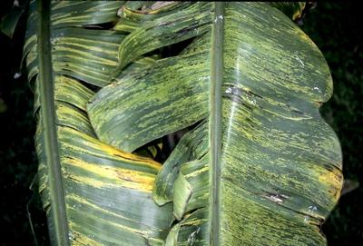 вирусы растений